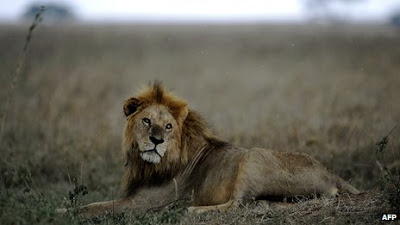 SIX LIONS STRAYED INTO RESIDENTIAL AREA KILLED